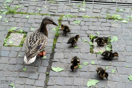 Entenfamilie mitten in der Stadt