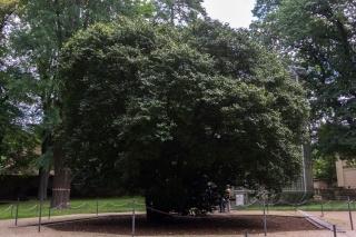 Über 230 jährige Kamelie (Camellia japonica) im Park des Schloss Pillnitz