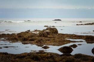 Robben am Strand von Ytri-Tunga