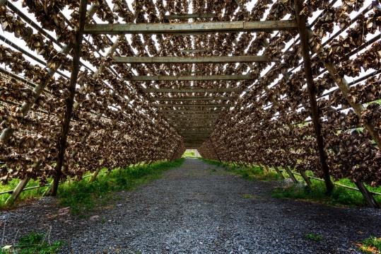 Tunnel aus Tausenden getrockneter Fischköpfe auf Kjeøya