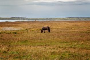 Islandpferd auf der Weide beim Vikingerdorf