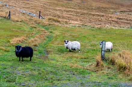 Schafe sind überall