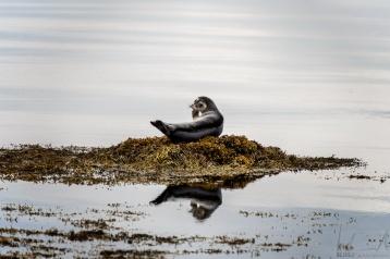 Robbe im Skötufjörður