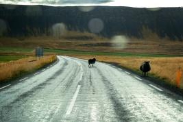 Vorsicht Schafe